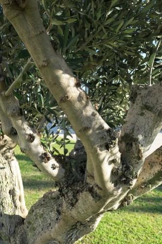 Olive knots many
