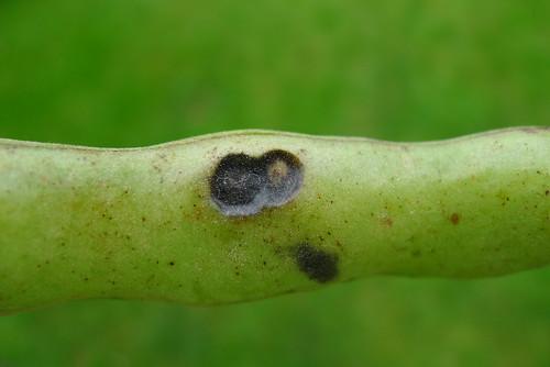 Anthracnose single lesion