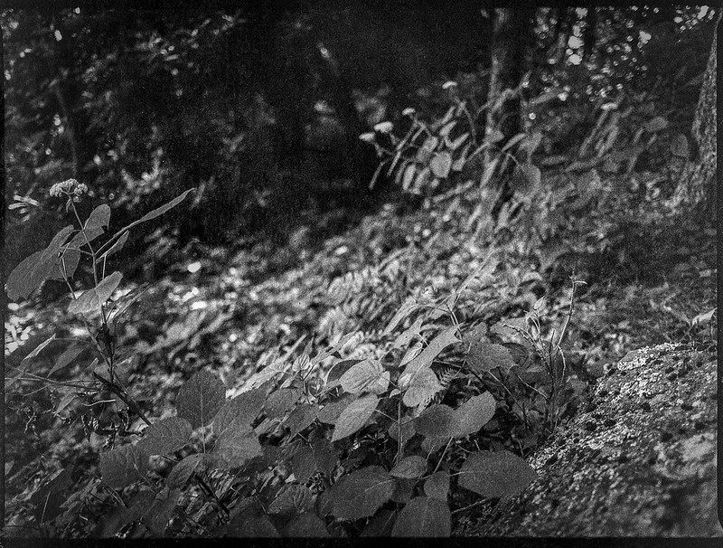 looking up, wildflowers, mountainside, Lakey Gap Heights, Black Mountain, NC, Mamiya 645 Pro, mamiya sekor 45mm f-2.8, Bergger Pancro 400, Ilfosol 3 developer, 6.18.21