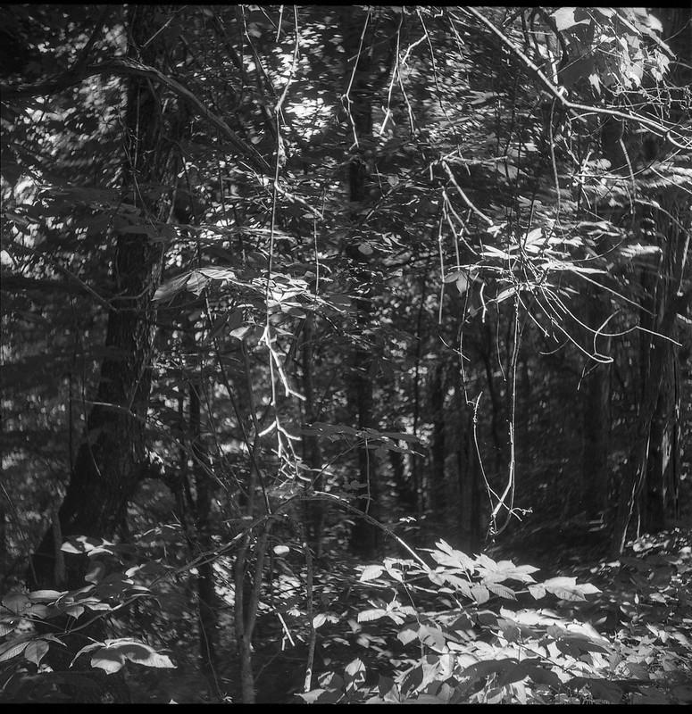 mountain forest, hanging vines, speckled light, Lakey Gap Heights, Black Mountain, NC,  Welta Weltur, Fomapan 200, HC-110 developer, 7.6.21