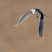 A Juvenile White-tailed Kite In Flight With Wings Down
