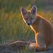 2106_3335 Red Fox Kit