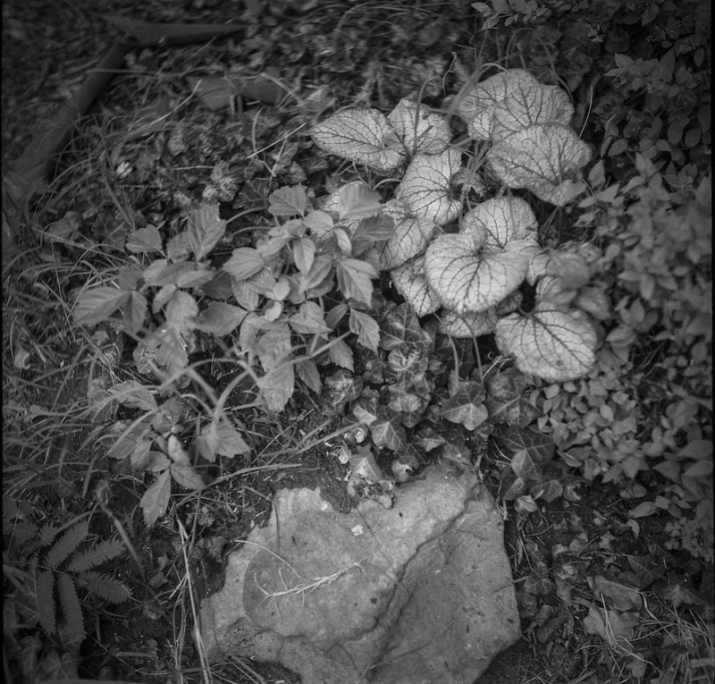 beautiful plant leaves, variety of ground cover, stone, front yeard, Ashleville, NC, Welta Weltur, Fomapan 200, HC-110 developer, 7.12.21