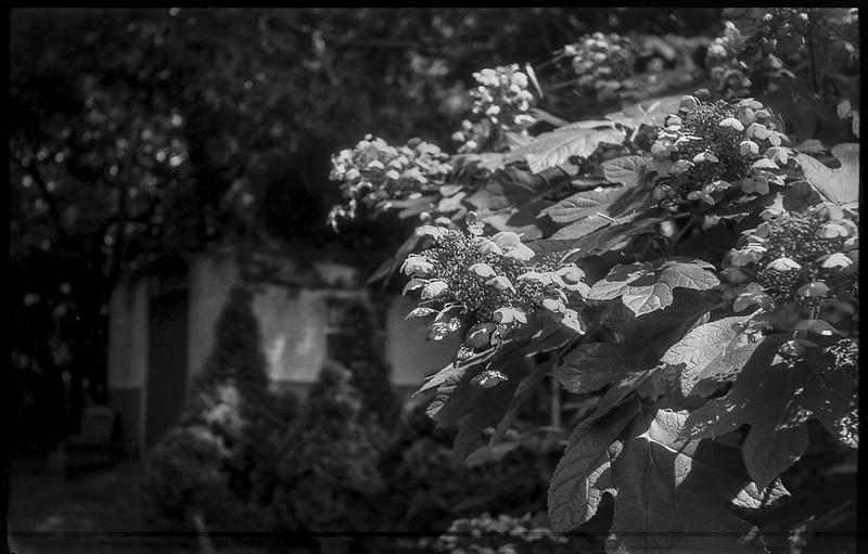blossoming hydrangea, metal tool shed, yard, Asheville, NC, Exa Ihagee, Meritar 50mm f-2.9, Arista.Edu 200, HC-110 developer, 7.30.21