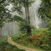 Path in the beech forest with fog