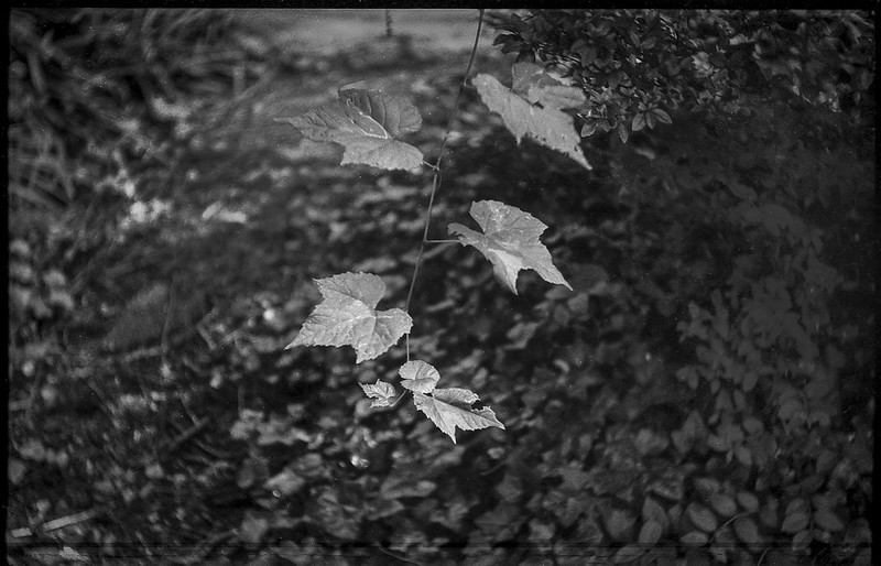 wild leaves and vines, azalea, ground cover,  yard, Asheville, NC, Exa Ihagee, Meritar 50mm f-2.9 (1 of 1)