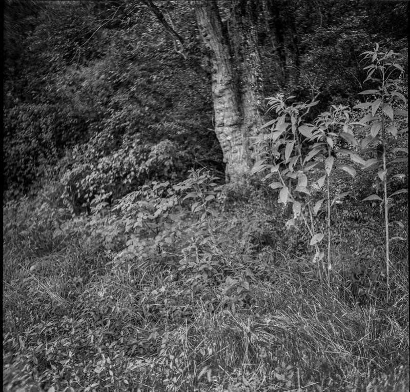forest's edge, old tree trunks, tall young plants, Biltmore Estate,  Asheville, NC, Welta Weltur, Bergger Pancro 400, HC-110 developer, 8.4.21
