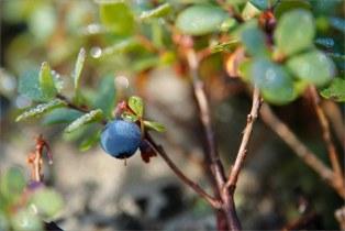 Голубика (Vaccínium uliginósum)