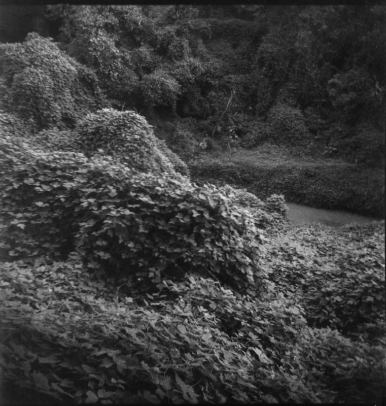 kudzu covered landscape, abandoned land by Sam's, Asheville, NC, Eho Altissa box camera, Fomapan 400, HC-110 developer, 8.12.21