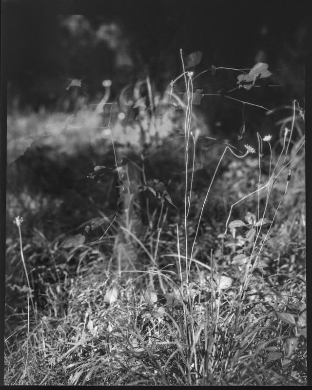 weeds and grasses, un-tended lawn, yard, Asheville, NC, Folmer Graflex R.B. Series B, 3.25 x 4.25 large format sheet film camera, Kodak Anastigmat f-4.5, HC-110 developer, 8.16.21