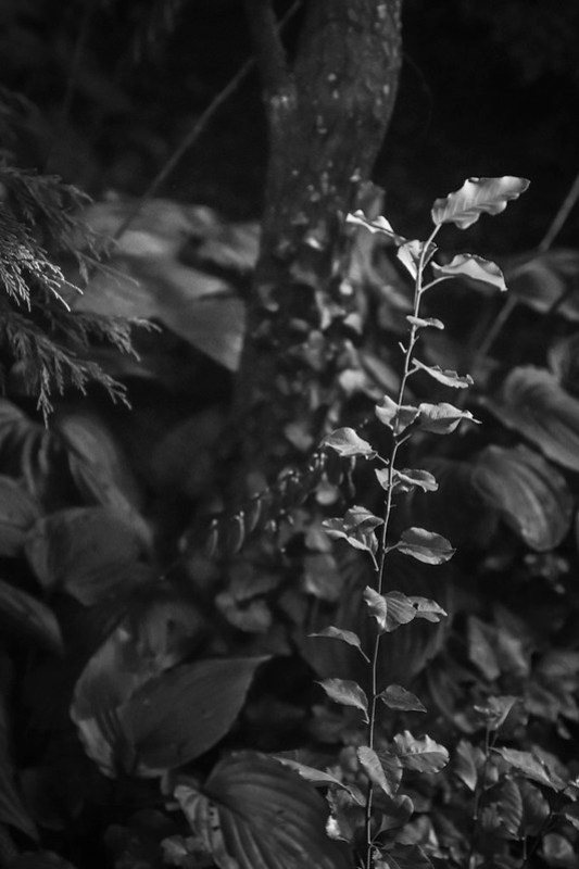 young sapling, hostas, ivy-covered tree trunk, yard, Asheville, NC, Nikon D3300, nikon nikkor 55mm f-3.5, 8.23.21