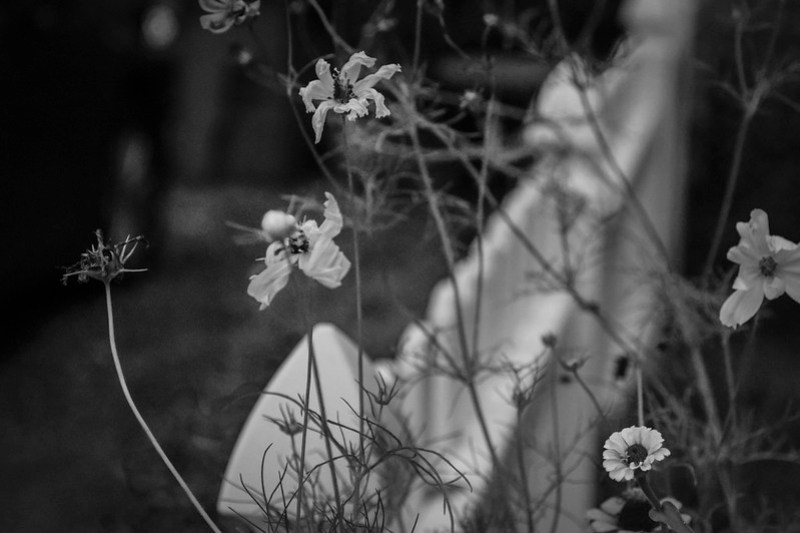 floral forms, emerging and dissipating, white picket fence, Asheville, NC, Nikon D3300, nikon nikkor 55mm f-3.5, 8.30.21