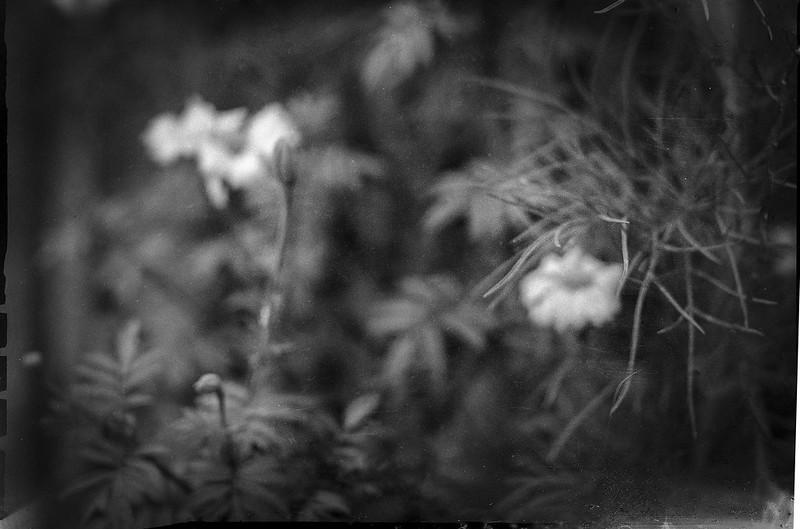 floral and plant forms, neighbor's yard, Asheville, NC, Baby Speed Graphic, Graflex Optar 101mm f4.5, 2 1-4 x 3 1-4 sheet film, Arista.Edu 400, HC-110 developer, 9.8.21