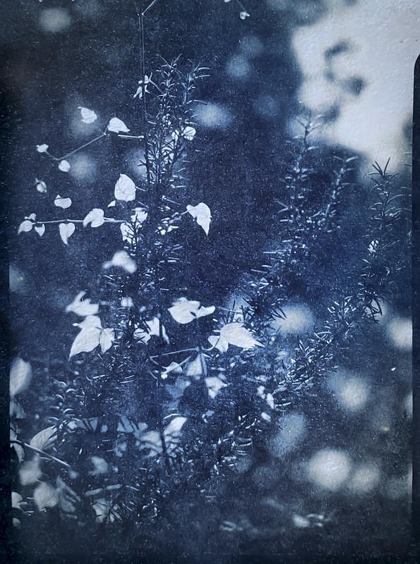 young leaves, conifer needles CYANOTYPE (slightly bleached), yard, Asheville, NC, 3x4 sheet film negative, Folmer Graflex R.B. Series B, Kodak Anastigmat f-4.5, HC-110 developer, shot- 8.16.21, printed- 9.14.21