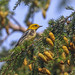 Green-Throated Warbler?