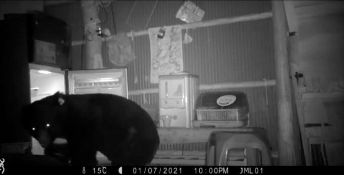 台灣黑熊「711」自去年底開始密集在苗栗、台中山區出沒,兩度誤中陷阱。圖片來源:林務局影片截圖。