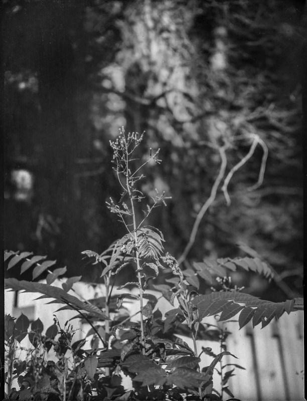 wild plant forms, picket fence, neighborhood, Asheville, NC, Folmer Graflex R.B. Series B, Kodak Anastigmat f-4.5, 3x4 sheet film, HC-110 developer, 8.16.21