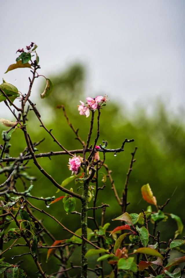 Crabapple blossoms in the rain.