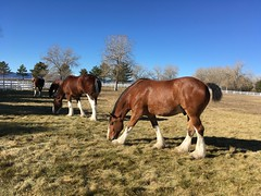 November 18, 2019 / Clydesdale Horses