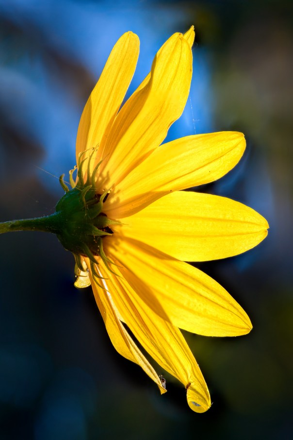 Water drops and insects on a Swamp Sunflower