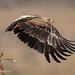 With Wings Down A Tawny Eagle Takes Flight From A Perch