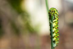 Caterpillar of Anise Swallowtail (Papilio zelicaon) on Fennel (Foeniculum vulgare)
