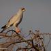 An Alert Eastern Chanting Goshawk Perched On Acacia Thorns