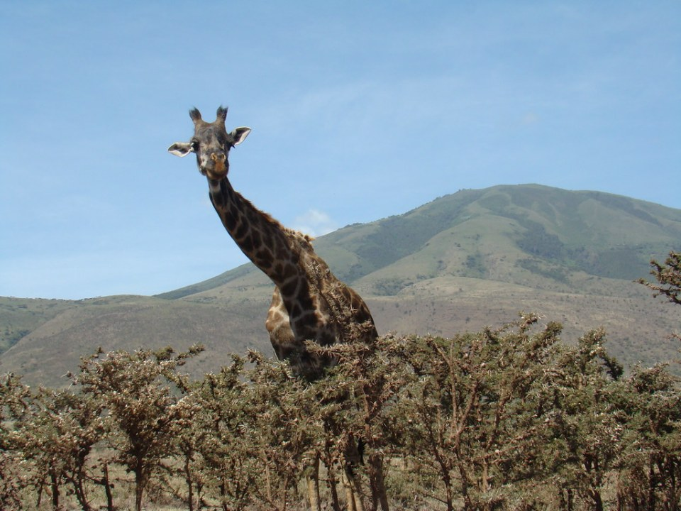 Jirafa Safari Area de Ngorongoro Tanzania 03