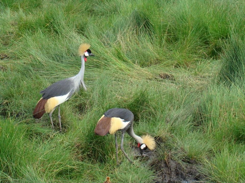 Grulla Coronada Safari Parque Nacional Arusha Tanzania 11
