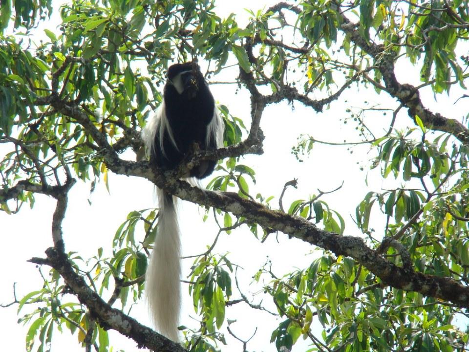 Monos colobos blanco y negro Safari Parque Nacional Arusha Tanzania 05