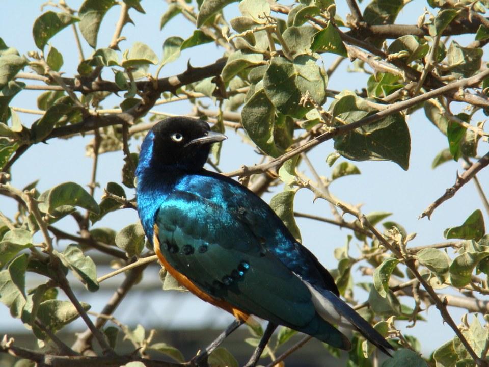 estornino soberbio, ave, Safari Parque Nacional Serengueti Tanzania 18