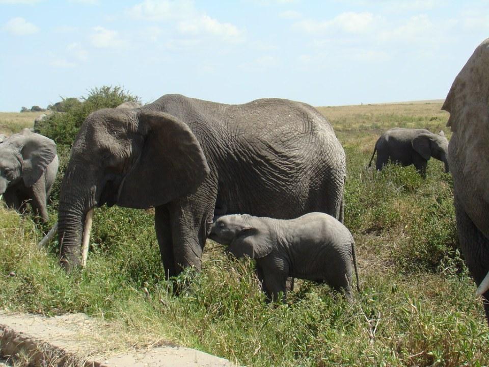 Elefantes Safari Parque Nacional Serengueti Tanzania 07