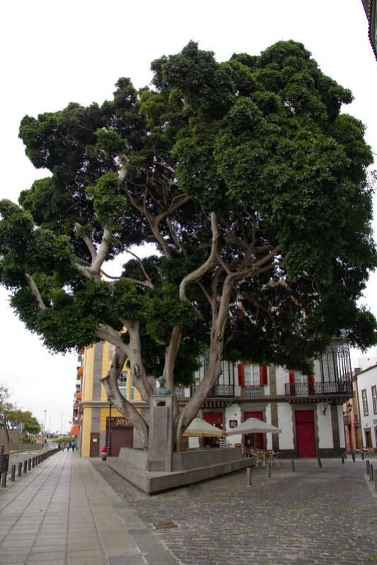 Arboles en calle Herreria Las Palmas de Gran Canaria 19