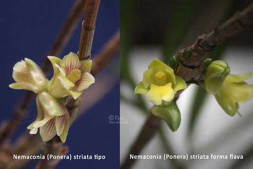 Nemaconia (Ponera) striata type and forma flava