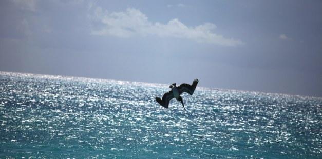 Pelican hunting..