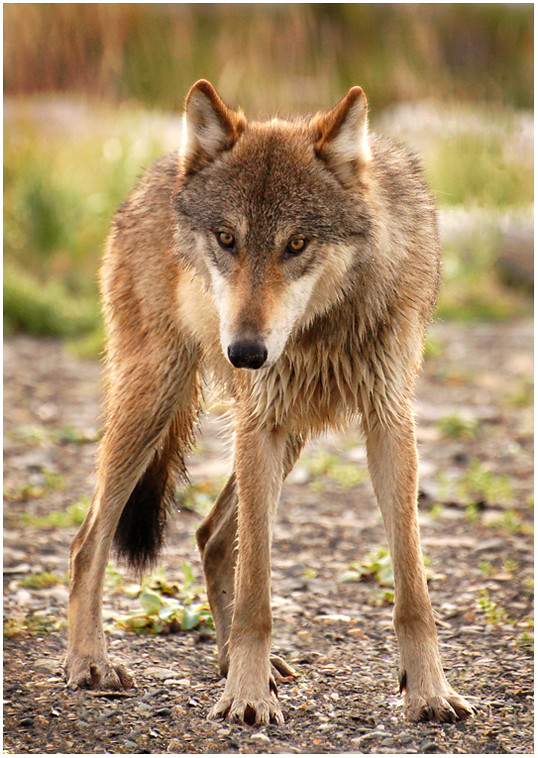 Long and Lean Katmai Wolf