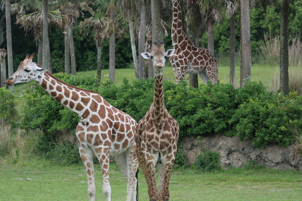 Giraffes on Kilimanjaro Safari - Animal Kingdom - Walt Disney World