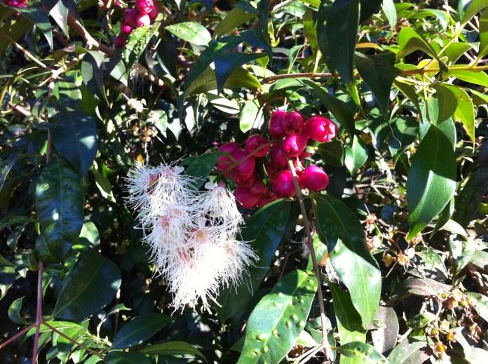 Syzygium paniculatum - foliage, fruit and flowers   Doug Beckers ...