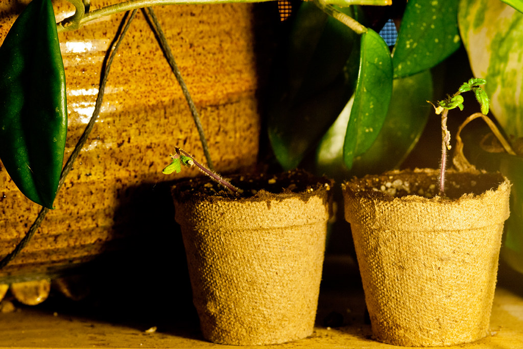 130428 - Distressed Tomato Plant   Rob Ewart   Flickr