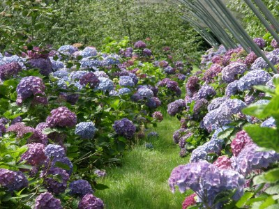 beautiful hydrangea farm