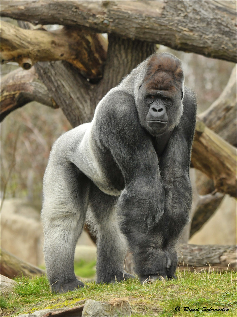 blijdorp zoo rotterdam bokito gorilla 20120313 nd3 827 flickr