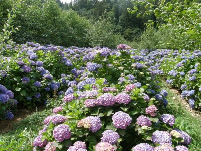 local Oregon Coast hydrangea flower farm
