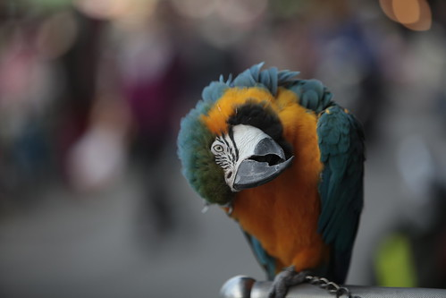 琉璃金剛鸚鵡Macaw parrot -看到小砲管,就是久不立正的怪咖. | Canon70-200L f2.8 IS,… | Flickr
