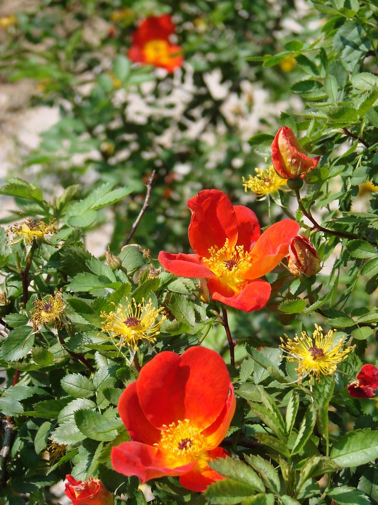 L Hay Les Roses Roseraie : roses, roseraie, Roseraie, Val-de-Marne, (L'Haÿ-les-Roses), Botaniq…, Flickr
