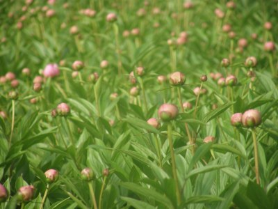 Pink Peony Farm on the Oregon Coast