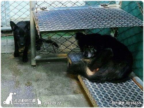 基隆收容所0522下層 米格魯,梗犬,超美混梗雪很多隻,超慘傷犬,米克斯成幼犬,20120524   流浪動物花園協會 ...