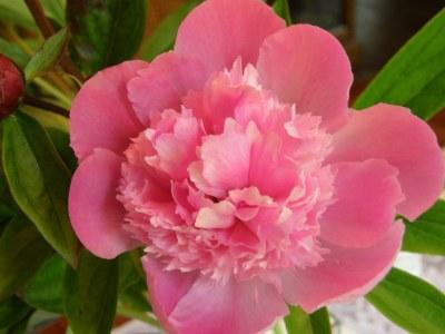 Medium Pink Peonies