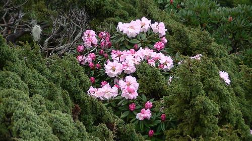 1010420合歡尖山的杜鵑花003   太魯閣國家公園   Flickr
