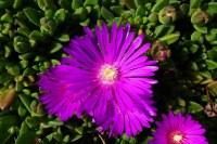 Delosperma 'John Proffitt' | Ordo Caryophyllales uss. ex ...