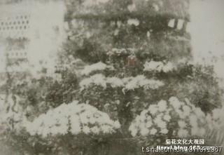 李氏祠花棚上的大立菊